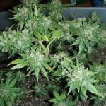 Фенотип Cannabis — Индика