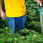 Полив растений марихуаны в аутдоре