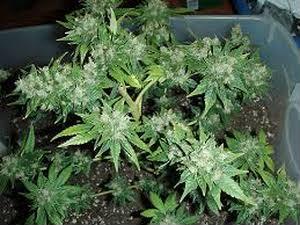 Фенотип Cannabis - Индика