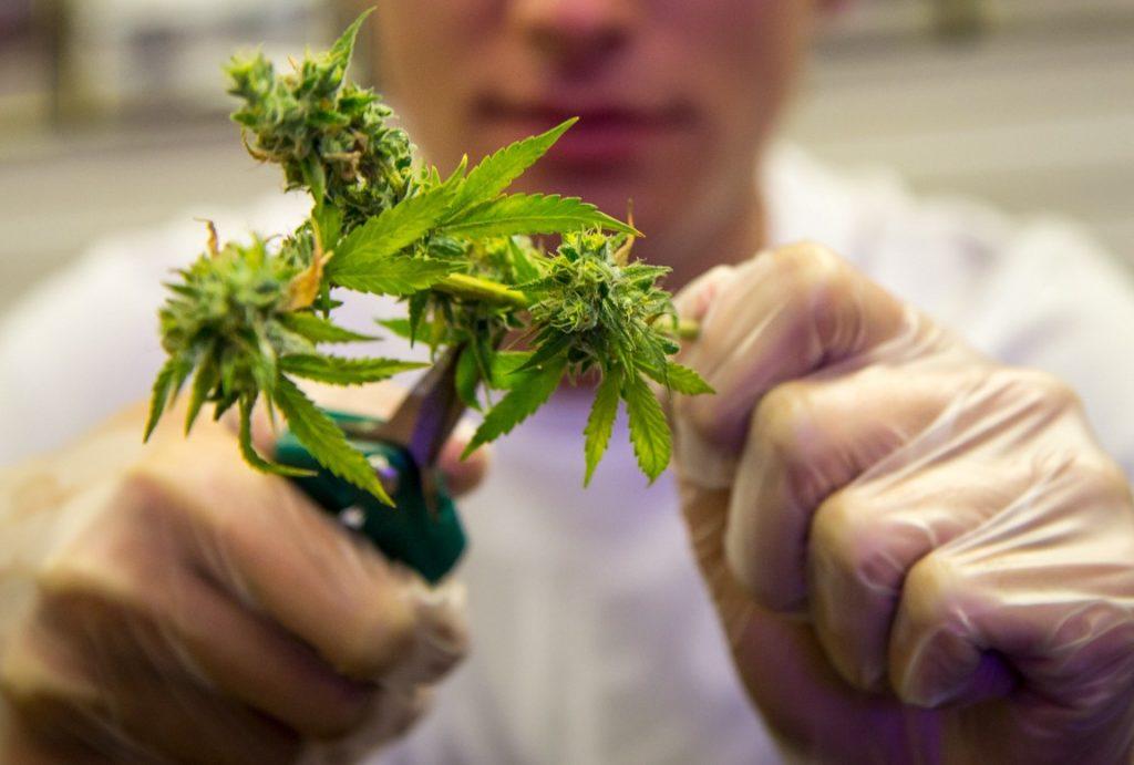 Конопля перед сбором марихуана в самаре купить