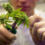 Сбор урожая марихуаны