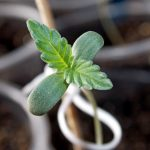 Стимуляторы роста для конопли