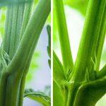 Как определить пол растения конопли?