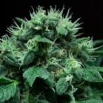 Выращивание конопли в открытом грунте, марихуана в аутдоре