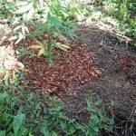 Секреты выращивания конопли – питательные смеси и мульчирование