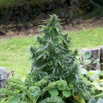 Плюсы и минусы выращивания конопли в открытом грунте