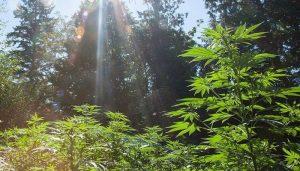 выращивание конопли, выращивание марихуаны, марихуана, конопля,
