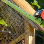Использование божьих коровок для защиты вашего сада конопли