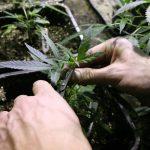 Как повысить урожайность марихуаны