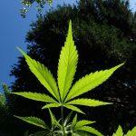 Выращивание марихуаны в аутдоре – идеальное место для новичка