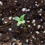 Этапы роста конопли
